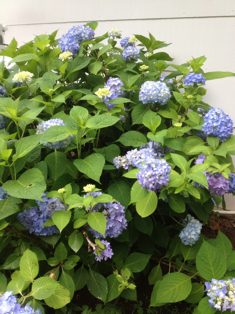 And here's a bonus from outside of the vegetable garden: the hydrangea are in bloom!  So great for making arrangements.  The flower color is dictated by the acidity of the soil!