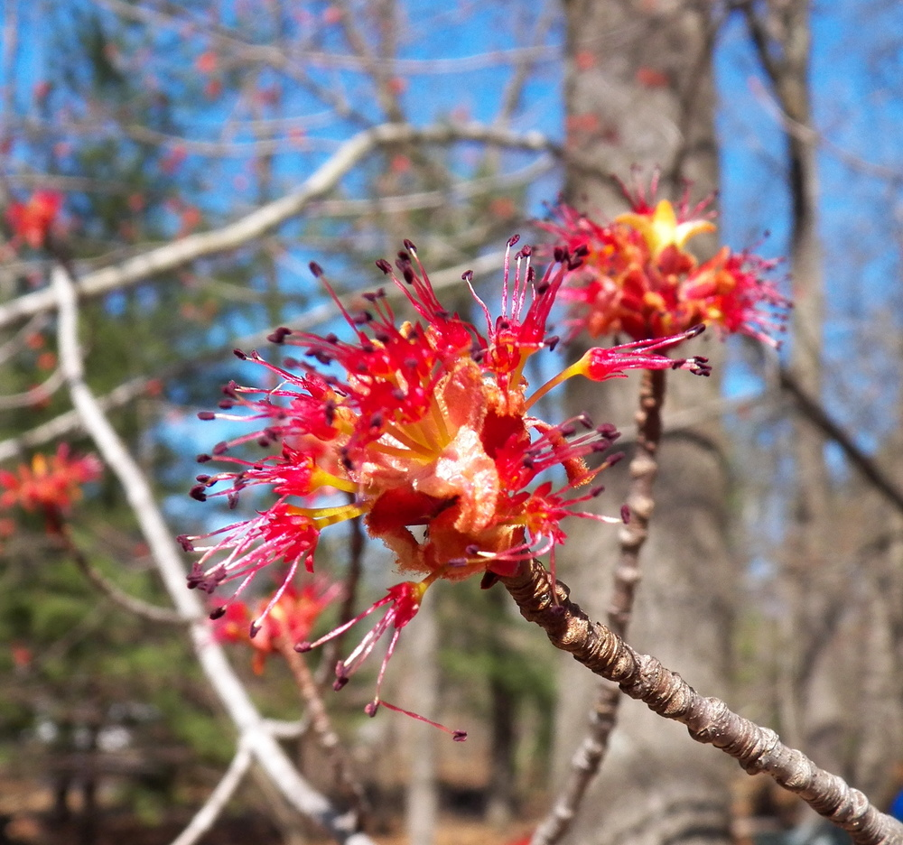 Maple blossom. These tasty and stunning little flowers were out in force on March 25 of last year.