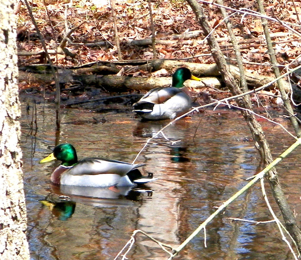 Mallards enjoy a puddle swim in the middle of the woods. These fellows were so glossy they appeared to almost be holographic.