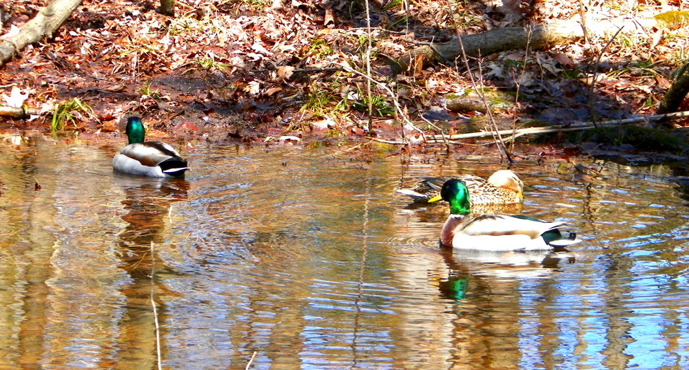 Mallards at Lincoln Park II  4-16-13.JPG