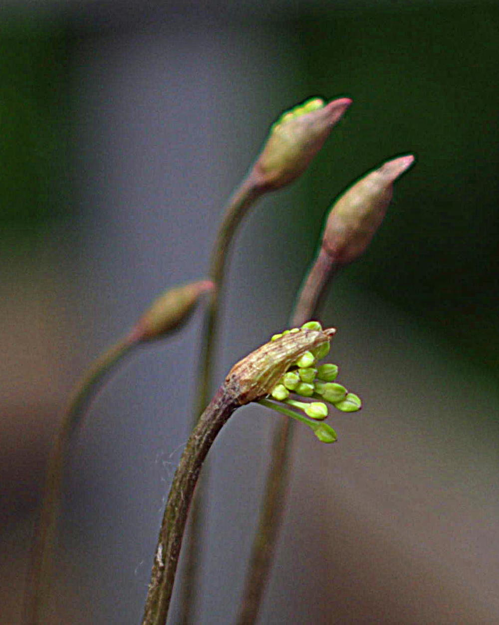 Ramp flower bud (click to enlarge)