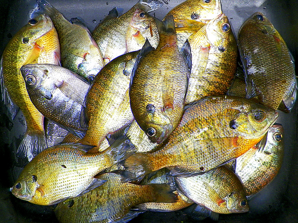 bluegills summer fun food creative sustenance