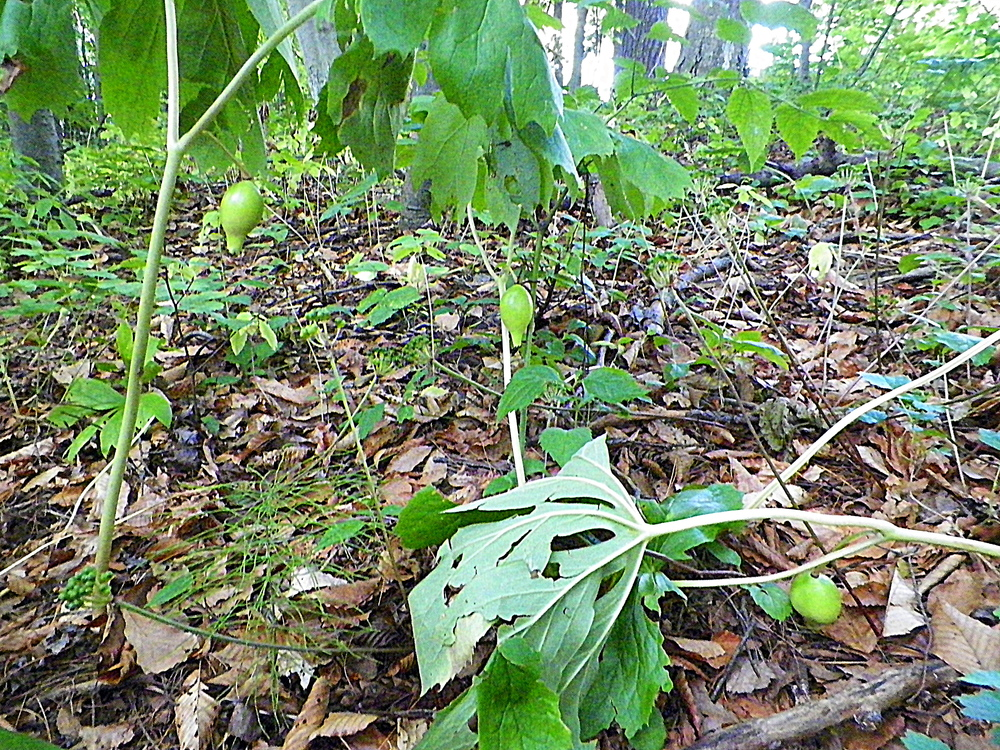 Three mayapple fruits. Each plant produces but a single fruit.