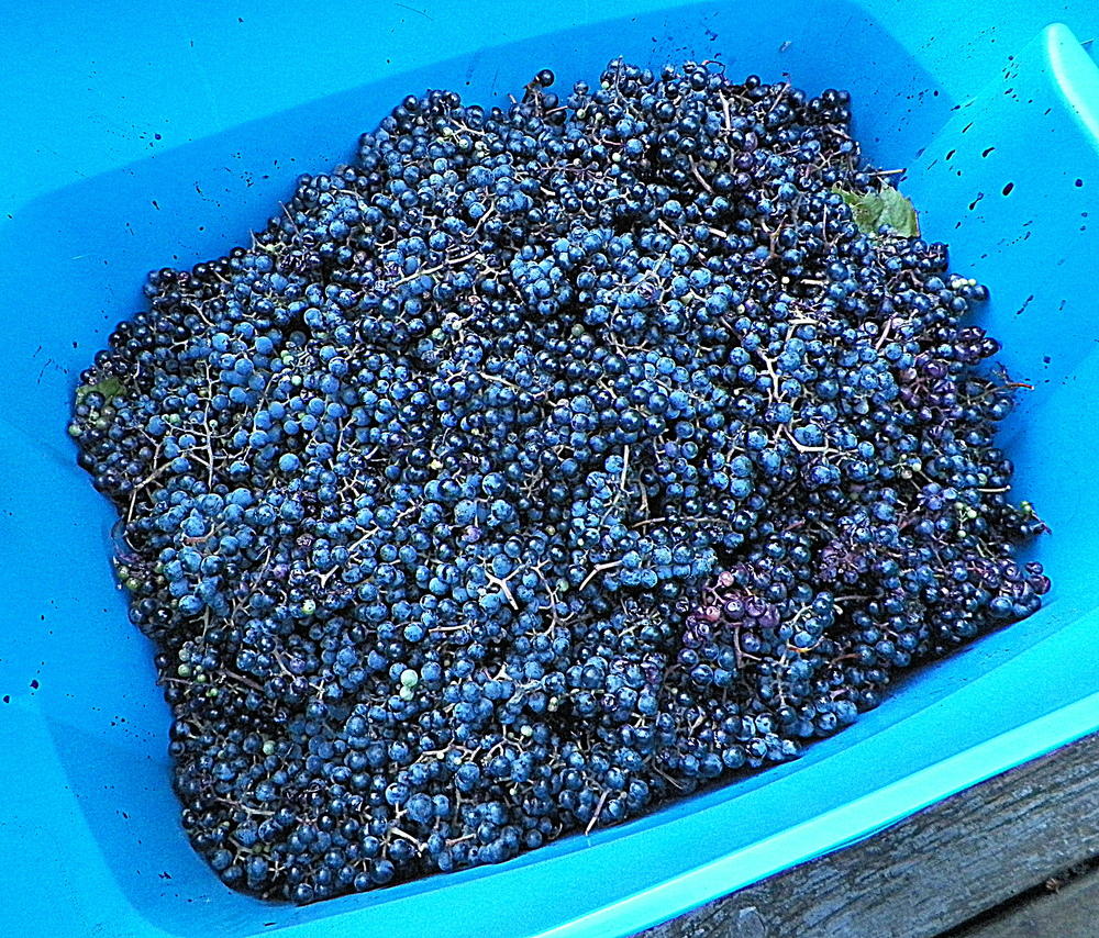 Approximately 14 gallons worth of wild grapes