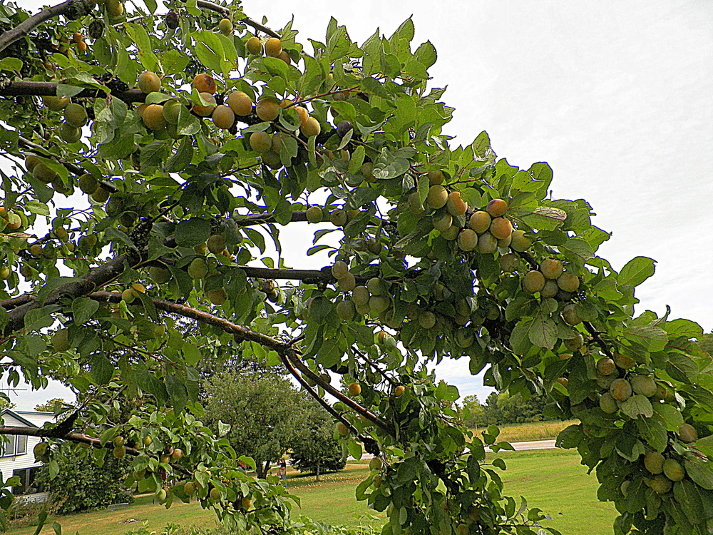 Branches loaded with yellow plums. Kim picking apples in the background.