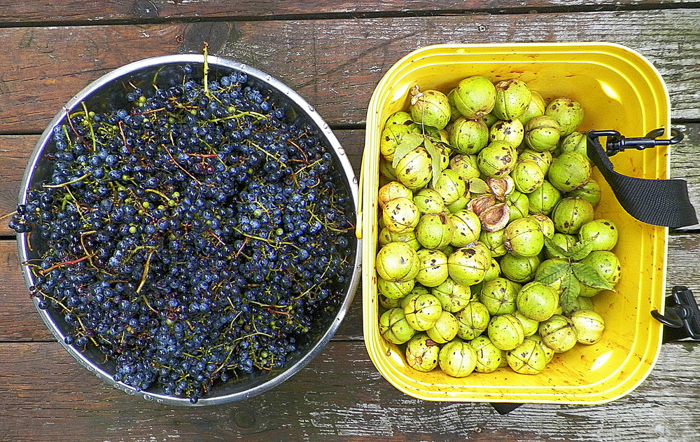 Wild grapes and hickory nuts.