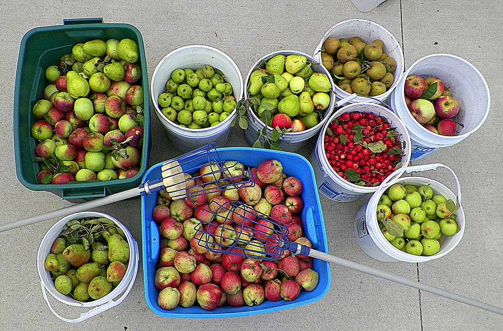 Foraged apples and pears.