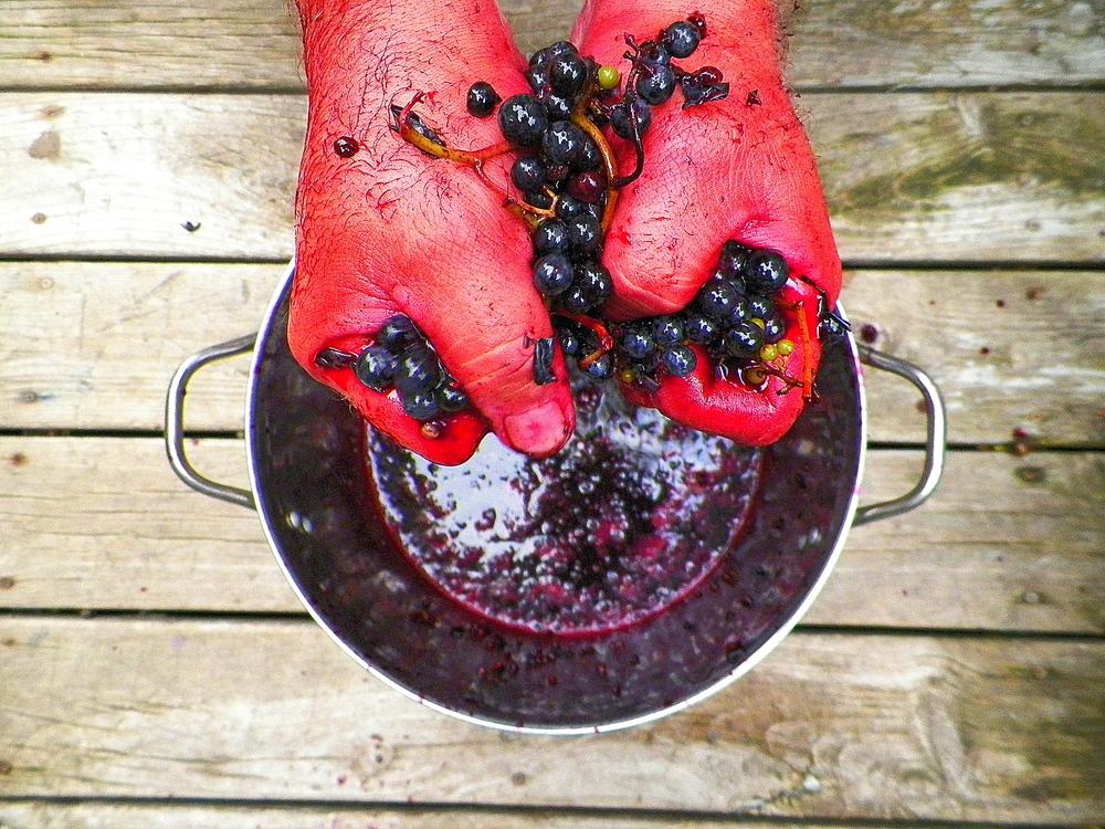 crushing grapes II  9-21-13.JPG
