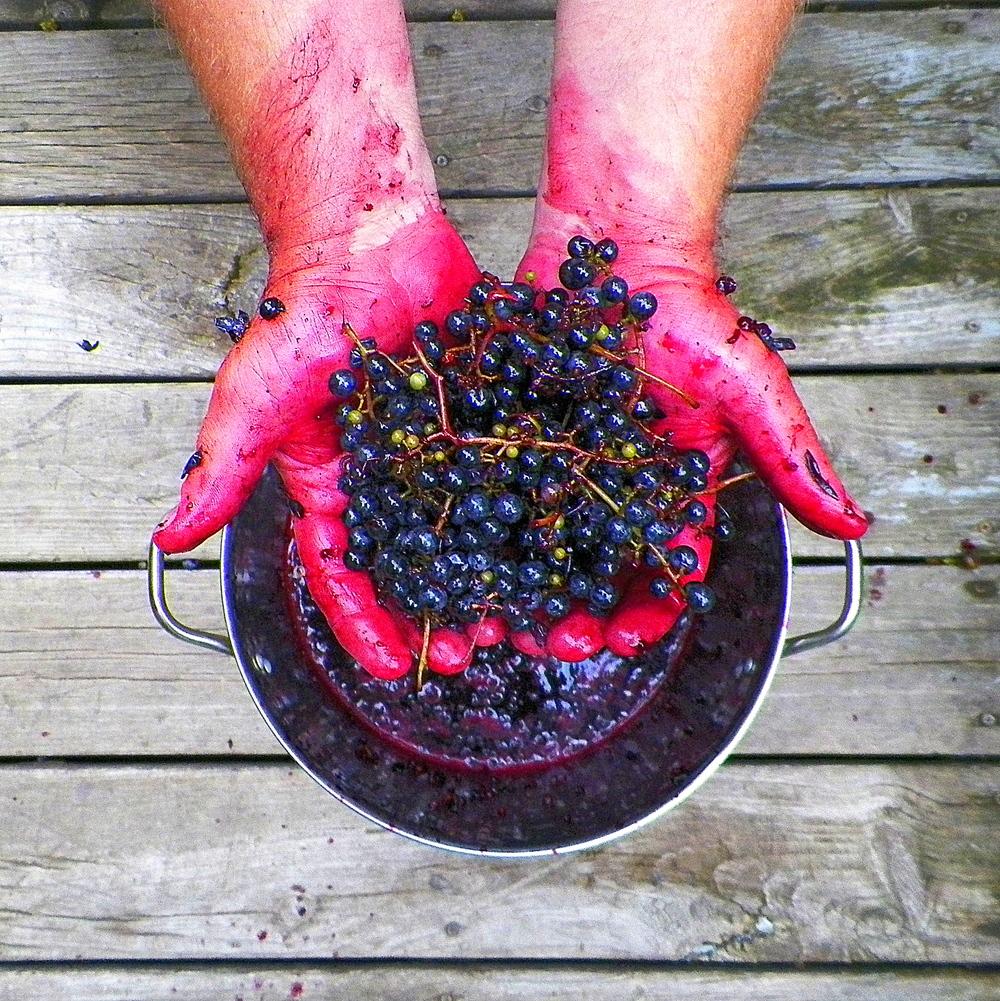 crushing grapes Ib  9-21-13.JPG