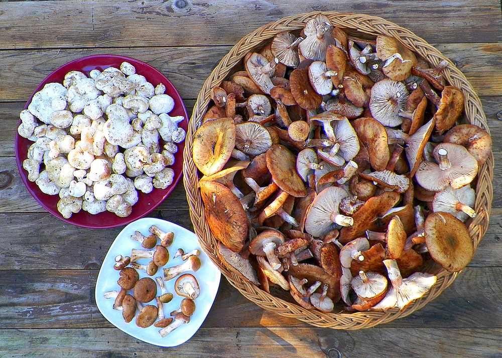 Some of the mushrooms we harvested on a pleasant October Sunday afternoon. Honey mushrooms ( armillaria mellea ) in the basket and on the small white plate.