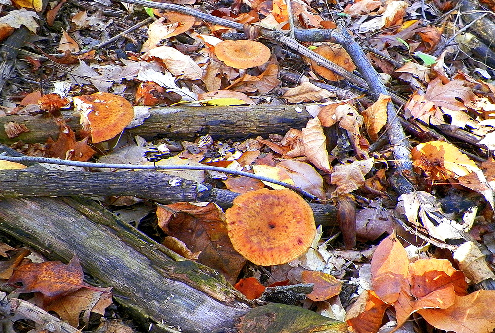 Mature honey mushrooms in a loose grouping near a rotting stump. Likely rotting wood in the soil below.