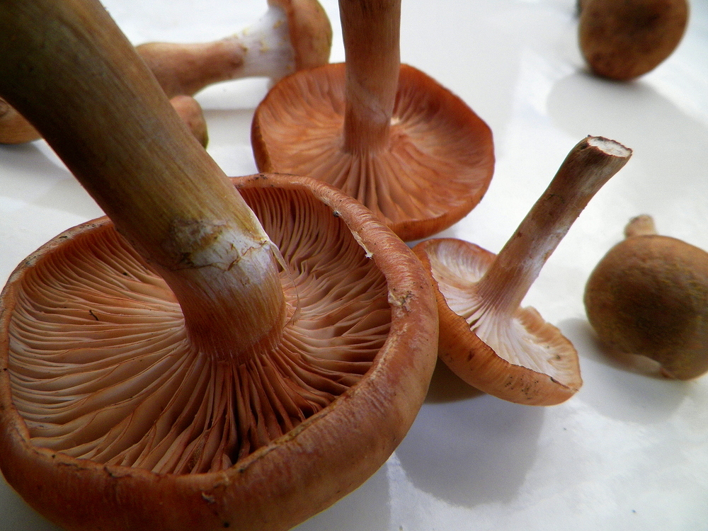 Mature honey mushrooms.