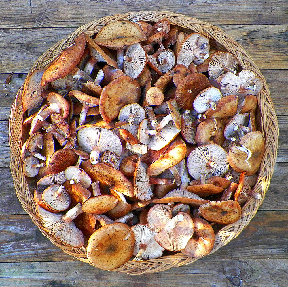 Honey mushrooms.