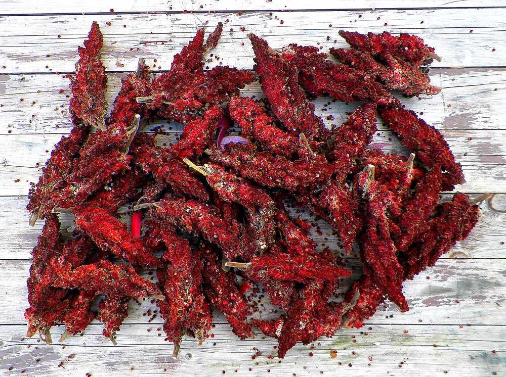 Staghorn sumac berry clusters. These berries have started to dry and are mostly past their prime for making fresh tea, but they're still good as a spice.