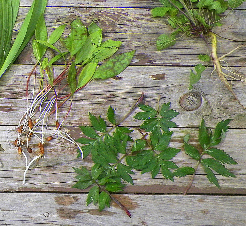 Trout lilies and virginia waterleaf. Trout lily bulbs go into a salad; I've always used the waterleaf as a sandwich green...that'll be today's lunch.
