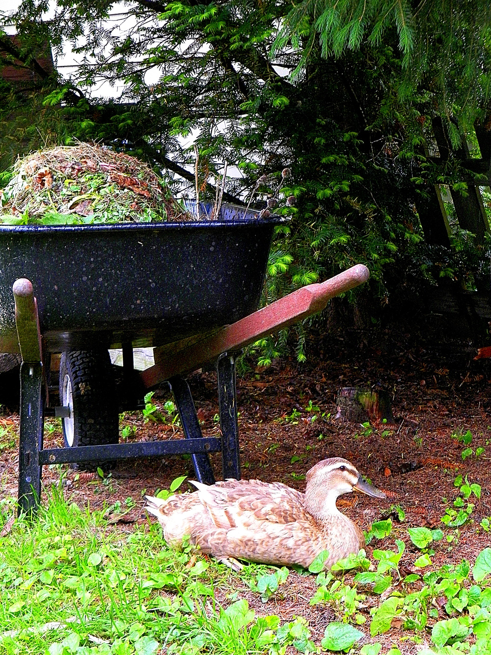 Duck under wheelbarrow