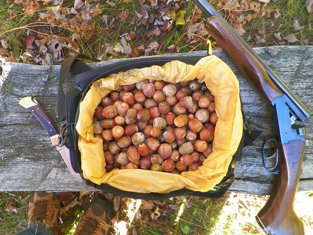 acorns I