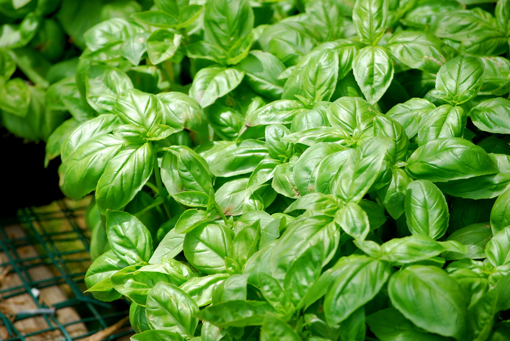 Charlie's Basil: From Our Farm - Fragrant and Sweet