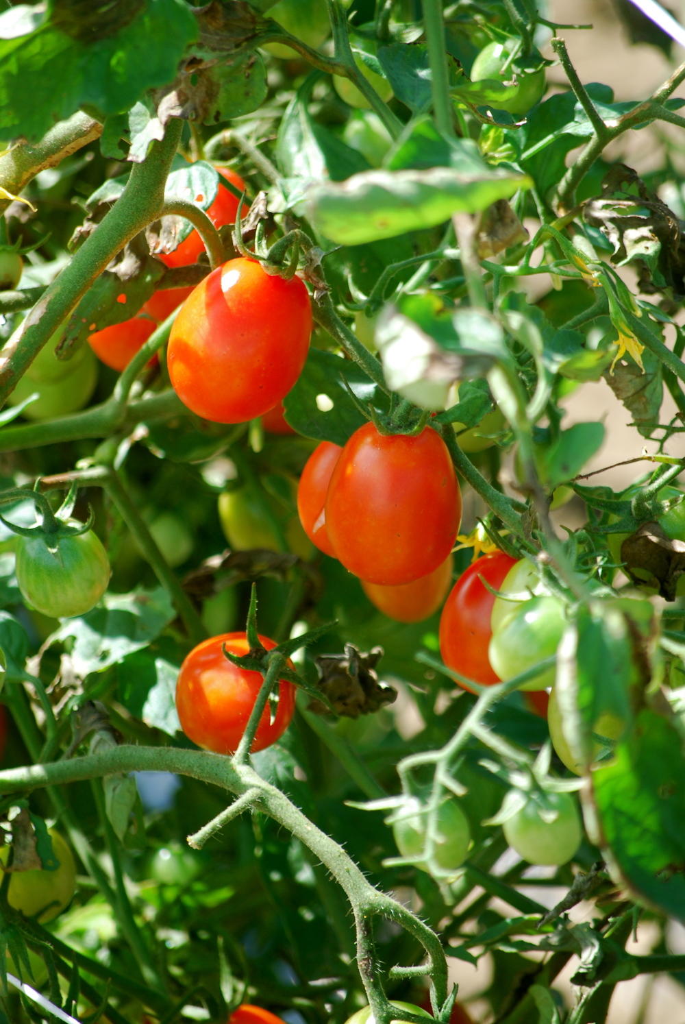 Fresh Cherry Tomatoes - From our Farm