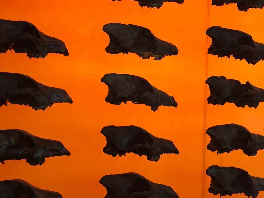 Wall of skulls of dire wolves at the La Brea Tar Pits.