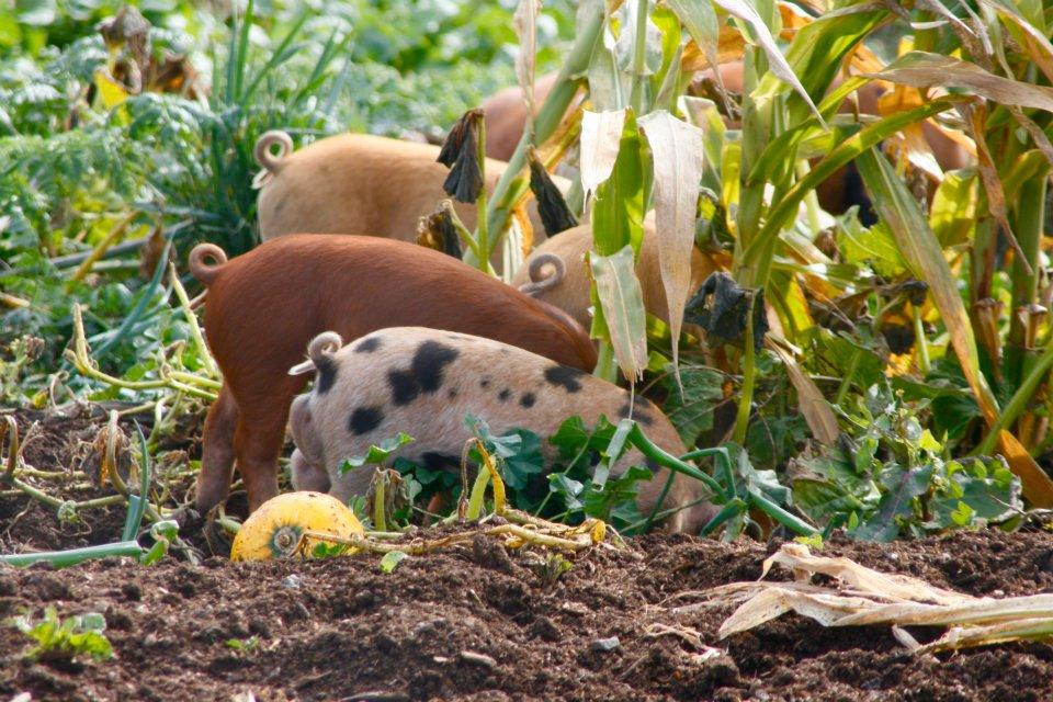 pigs in garden.jpg