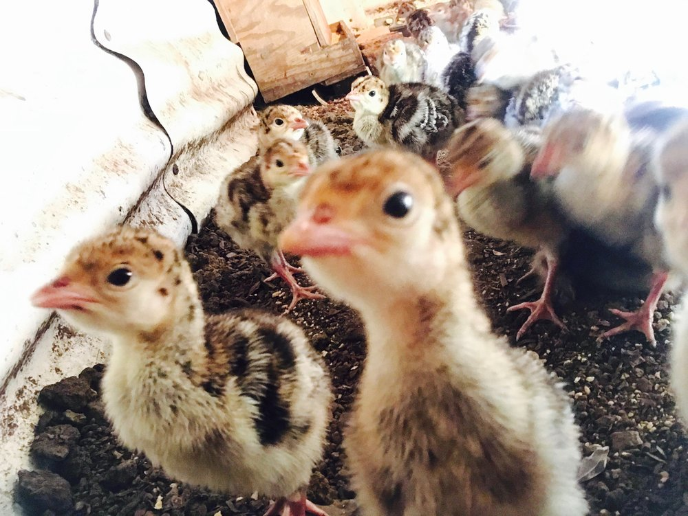 baby turkeys