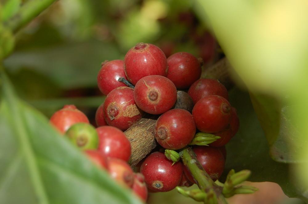Cerises de café prêtent pour la récolte