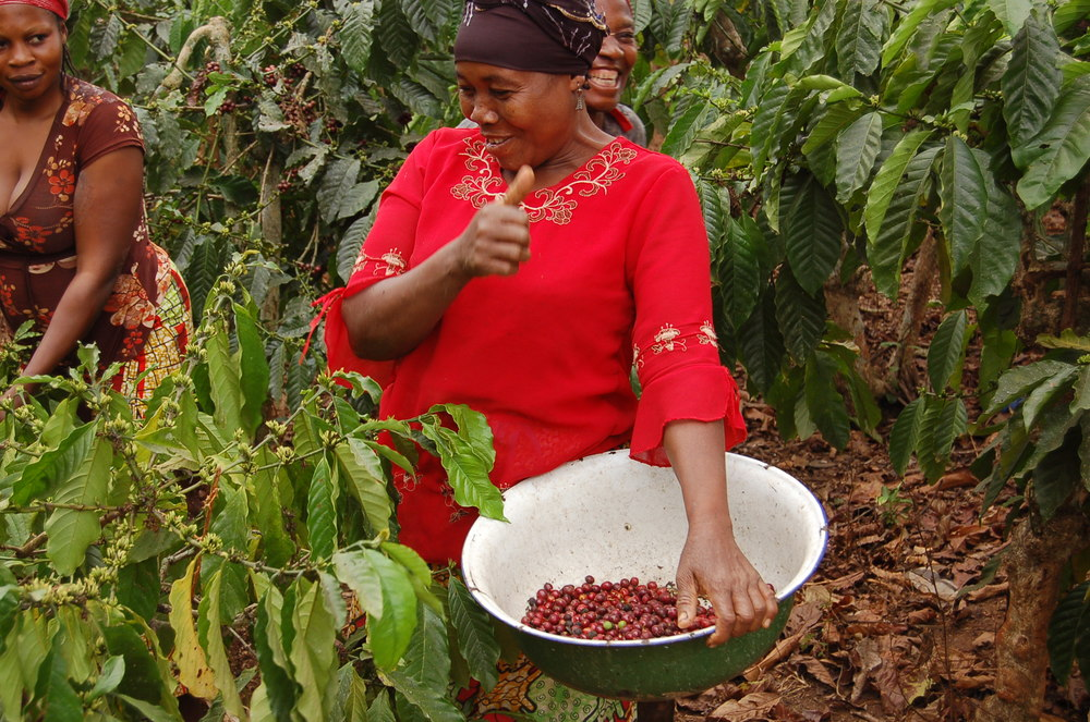 """Récolte manuelle des cerises rouges """"picking"""""""