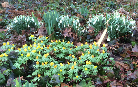 Snowdrops and winter aconite still blooming in April in Riverside Park near 101st Street.