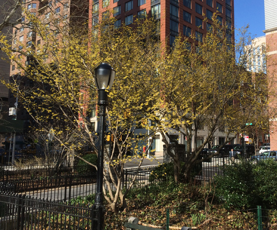 Witchhazel (front) and cornelian cherry (behind) in Carl Schurz Park, NYC.