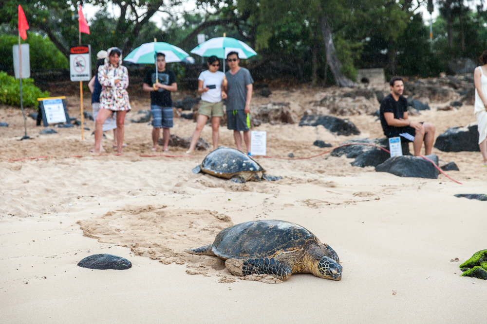 crowds gathering in the rain at Laniakea Beach to watch the sea turtles wake from their daily nap and head back out to sea