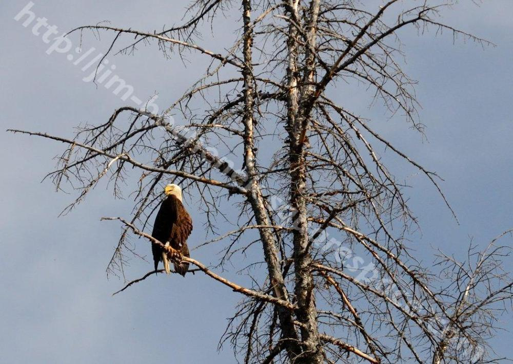 Second Bald Eagle in Jackson 8-11_138.jpg