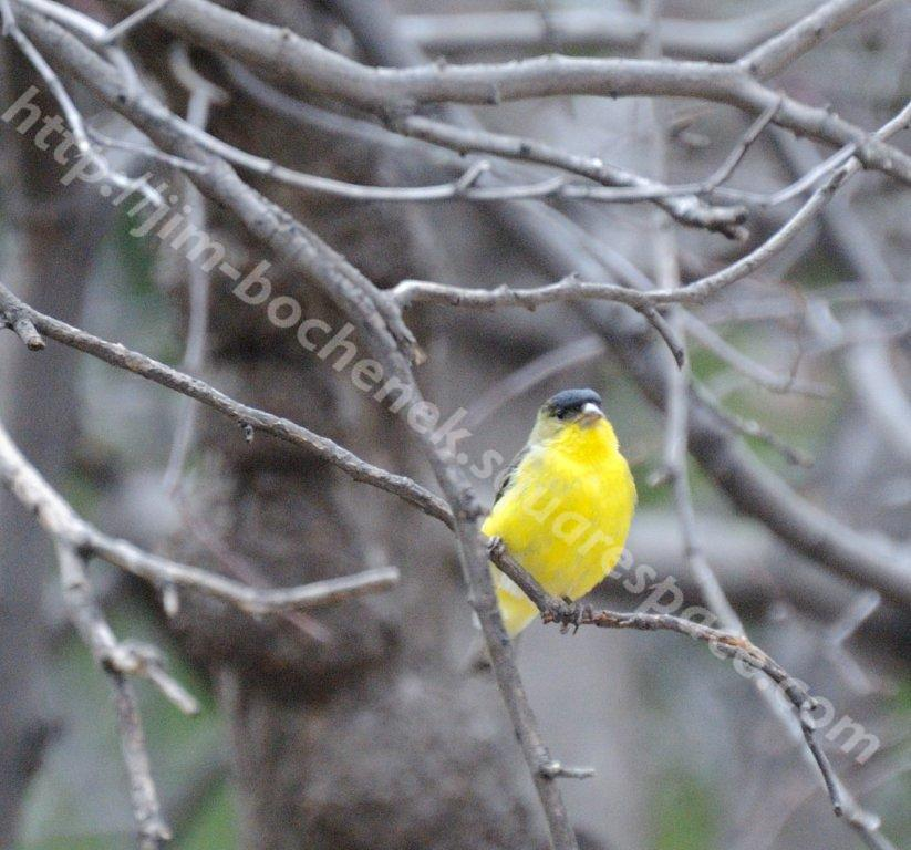 Yellow bird Close-up.jpg