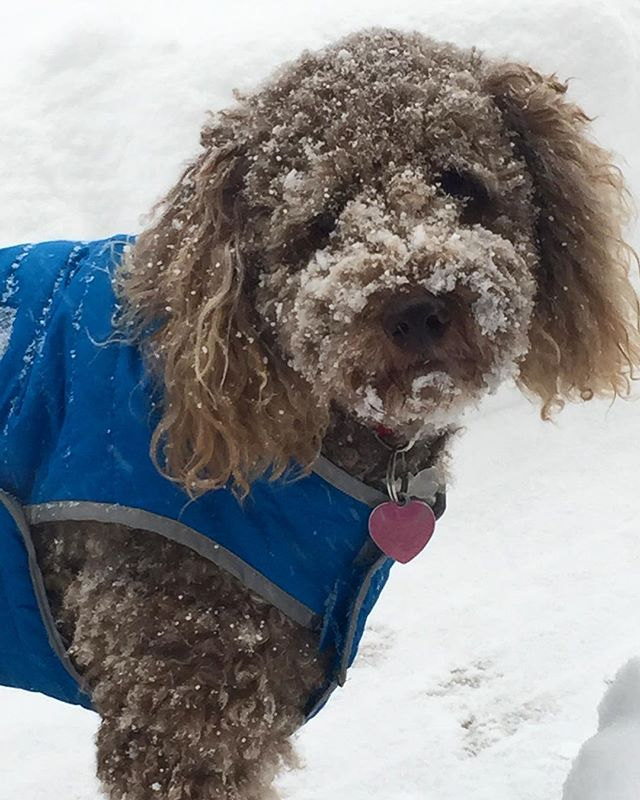 What? Is there something on my face?! 🐩☃💗#cameraready #snowdog #snowday #philly #dogwalking #welovedogs #dogsofinstagram #friskyinphilly #cantstopme #instacute
