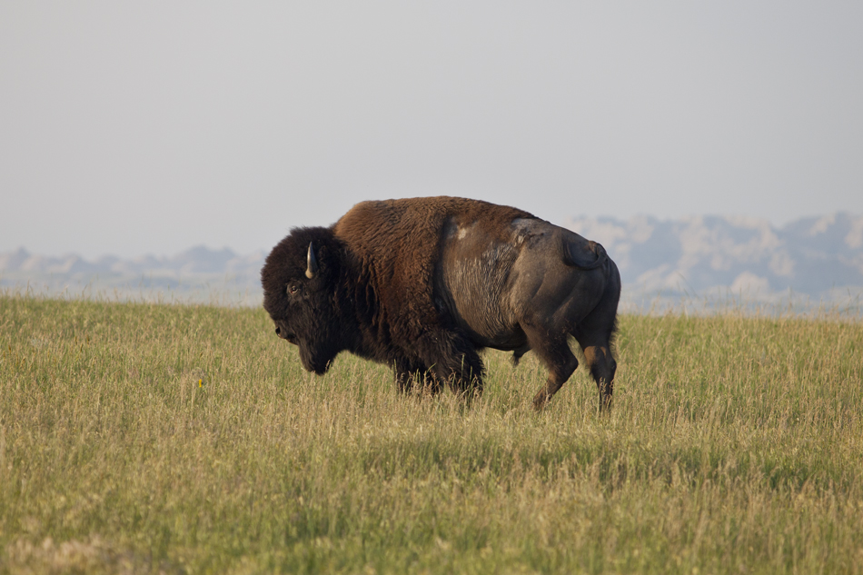 Bison- Badlands National Park, South Dakota
