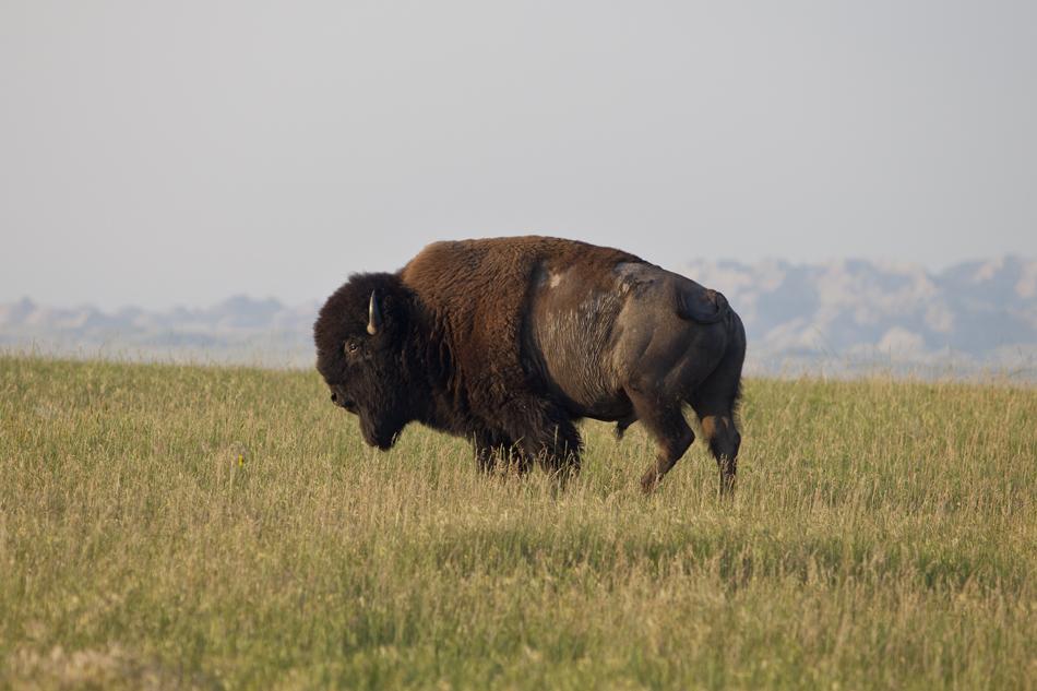 Bison- Badlands National Park, South Dakota