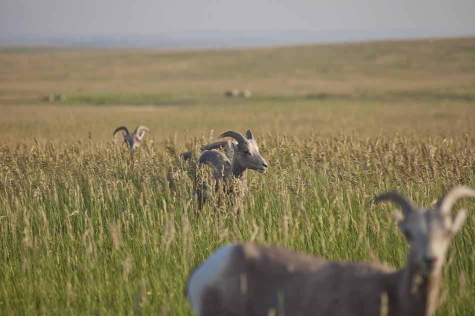 Bighorn Sheep- Badlands National Park, South Dakota
