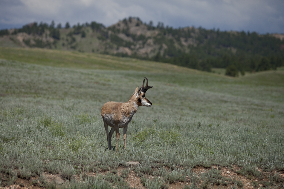 Pronghorn Antelope-Custer State Park, South Dakota