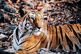 284px-Wild_tiger_pench.jpg