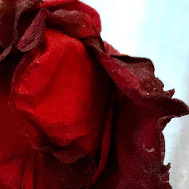 Contemplating one of my birthday roses. Gorgeous when fresh, now assuming a new beauty as they dry and decay. Must be a fucking metaphor in there somewhere, no? #redroses #birthdayflowers #wabisabi #velvetypetals