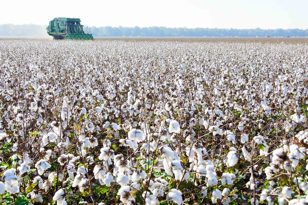 Cotton plantation on the Mississippi River, Louisiana ...