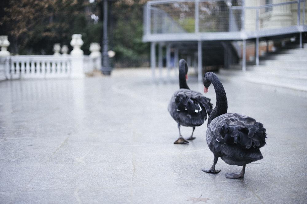 blackswans.jpg