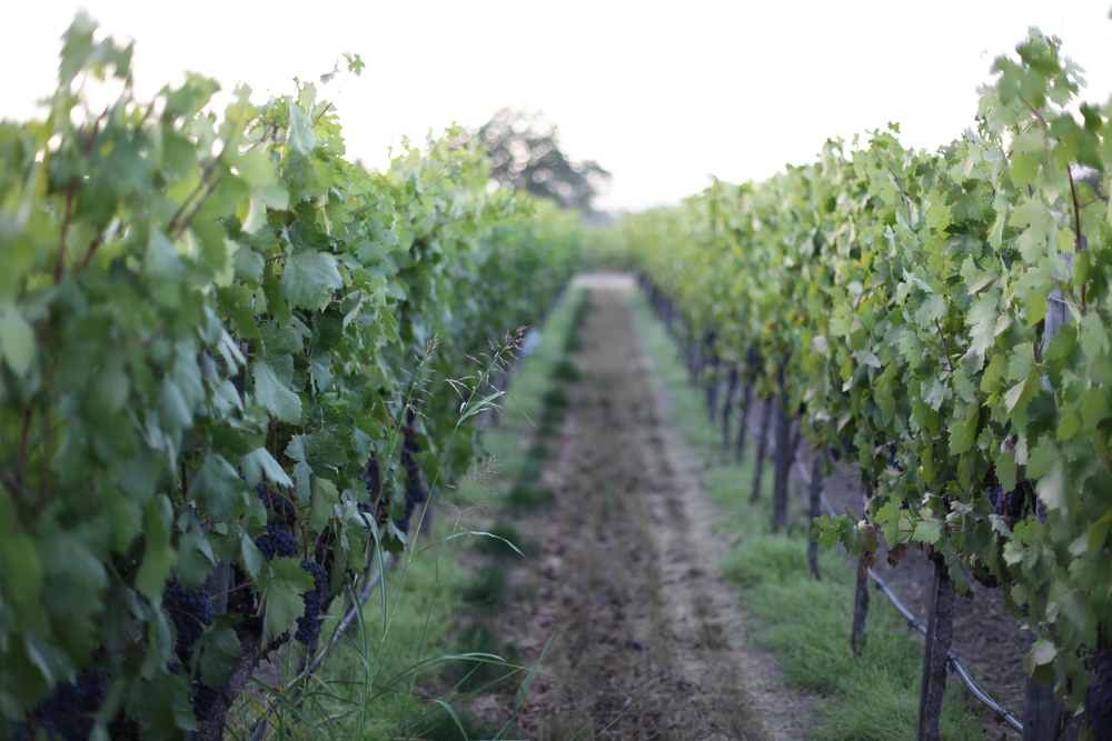 The Chiarello Family Vineyards