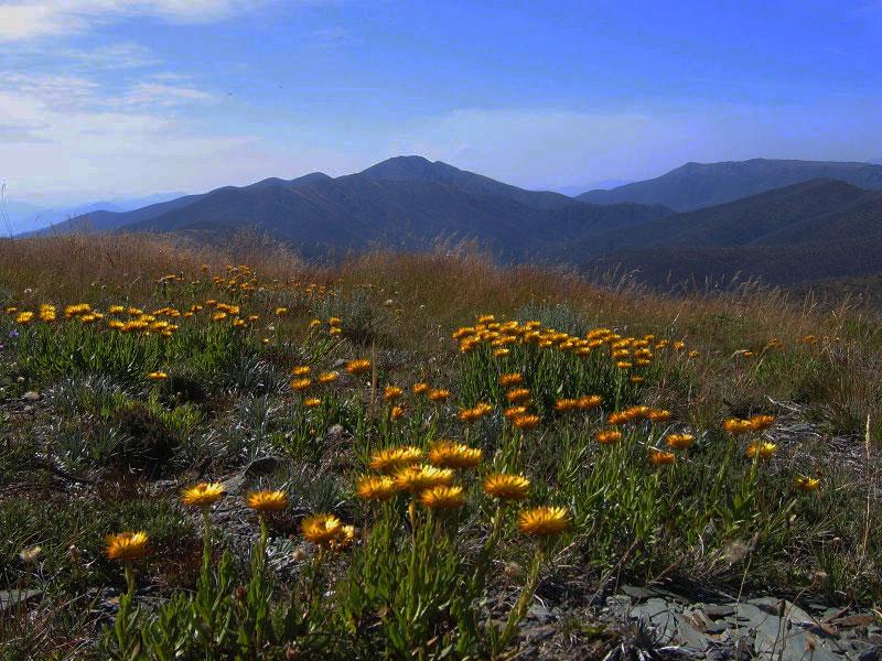 AU-Alps-Flowers.jpg