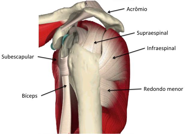 Relação entre os tendões do manguito rotador, o bíceps e o acrômio