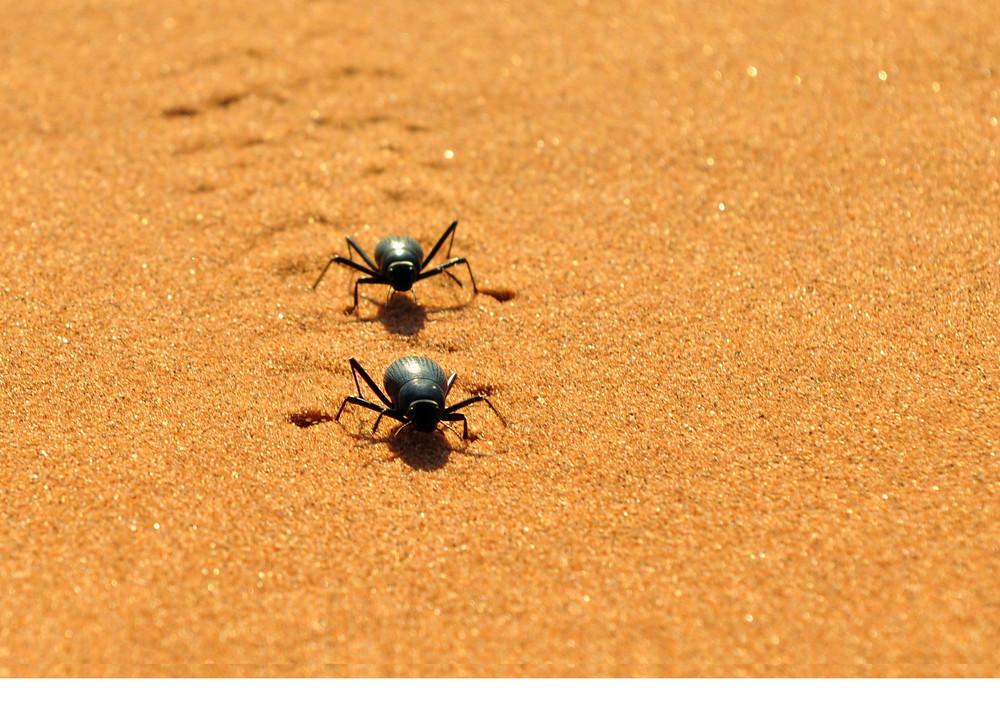 Namib-desert-beetle.jpg