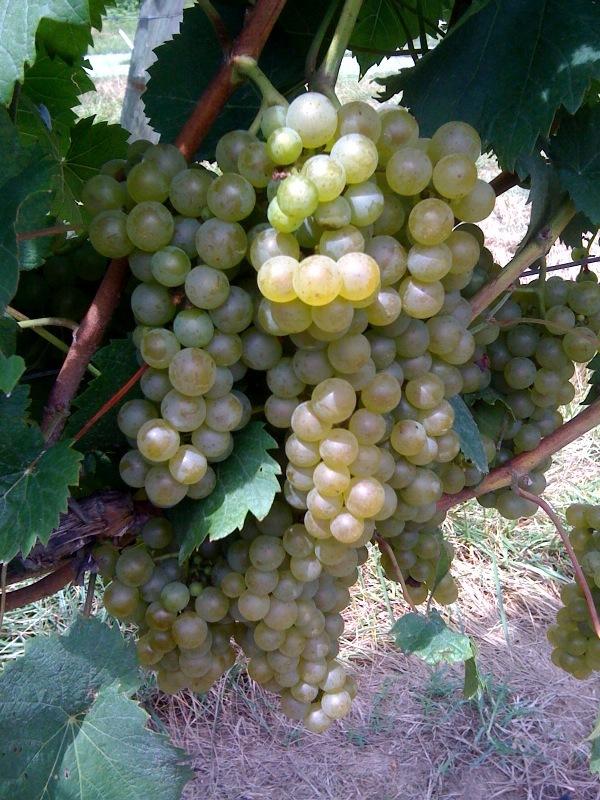 grapes4.jpg