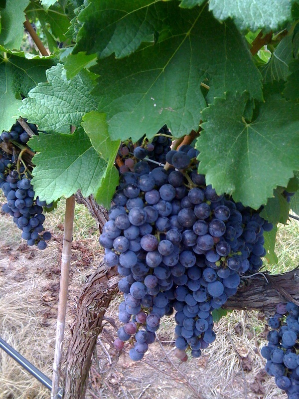 grapes3.jpg