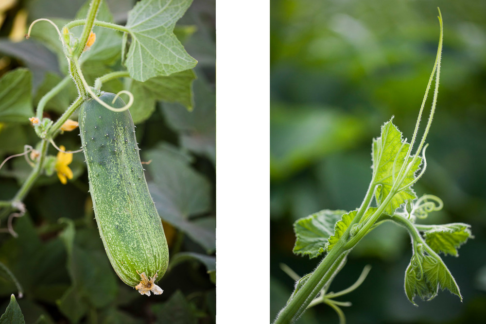 cucumberplant.jpg