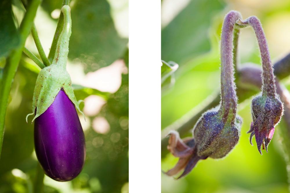 eggplantblossom.jpg